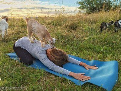 نوع جدید یوگا در کنار بزها و گوسفندها +عکس