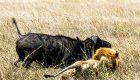 بوفالوها در جنگ با شیرها به روایت عکس