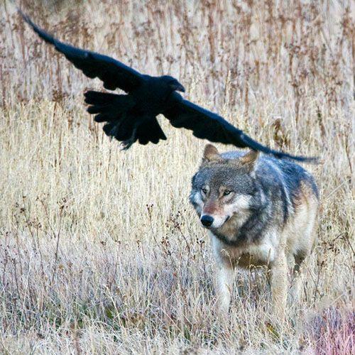 نکات خواندنی درباره زندگی گرگ ها