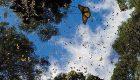 تصاویر زیباترین پروانه دنیا را ببینید