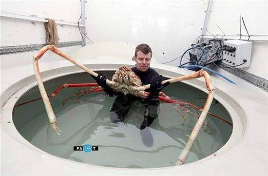 تصاویر عجیب بزرگترین خرچنگ دنیا