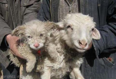 گوسفندی که توله سگ به دنیا آورد +عکس