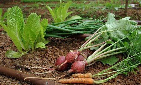 در فصل پاییز سبزیجات پرورش دهید