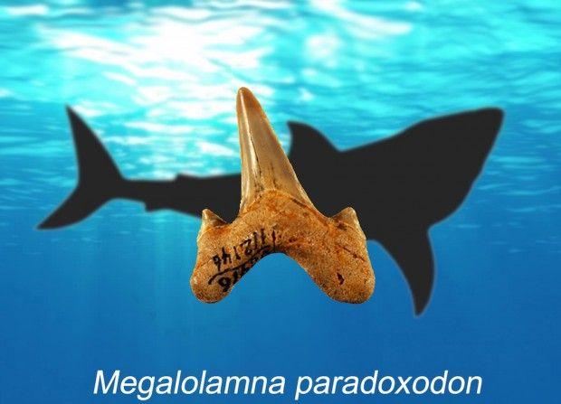 کشف دندان عظیم کوسه 20 میلیون ساله