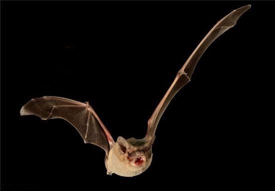 سرعت پرواز این خفاش باورنکردنی است