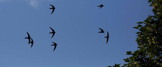 پرنده سویفت می تواند 10 ماه بی وقفه پرواز کند