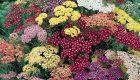 فواید گیاه دارویی بومادران برای سلامتی