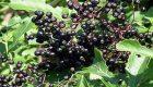 خواص دارویی گیاه آقطی سیاه