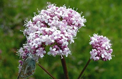 خواص درمانی گیاه دارویی سنبل الطيب