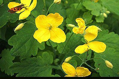 شرح کامل خاصیت های گیاه مامیران کبیر