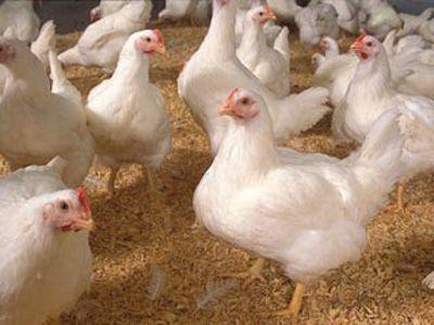 جلوگیری از آنفولانزا گرفتن از پرندگان