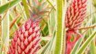 عرضه آناناس به رنگ صورتی در جهان