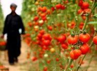 تاریخچه ورود گوجه فرنگی به ایران
