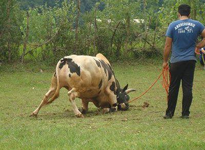 آشنایی با بازی محلی گاو دارم ایرانی