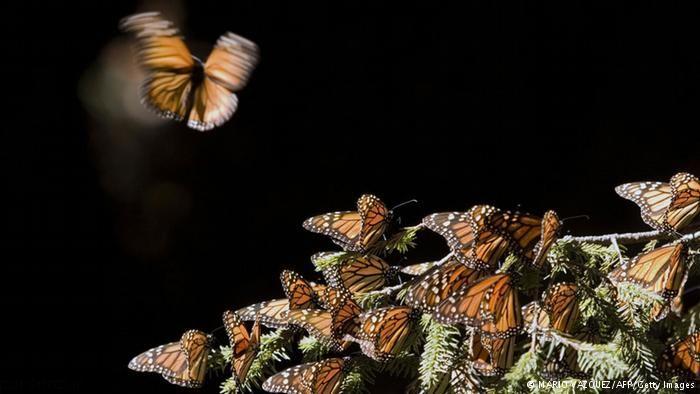 مهاجرت دسته جعمی پروانه ها از آمریکا به مکزیک