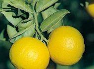 آشنایی با بهترین خواص میوه لیمو شیرین