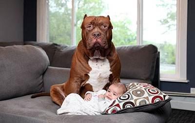 سگ عظیم الجثه و پرستاری از کودک آمریکایی