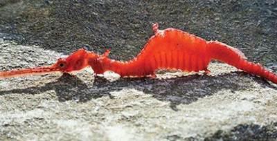 اژدهای دریایی در دریاهای استرالیا کشف شد