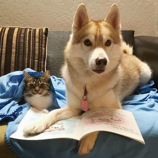 این گربه فکر می کند یک سگ هاسکی شجاع است