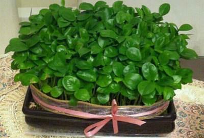 آموزش کاشت سبزه زیبای عید با تخم کدو
