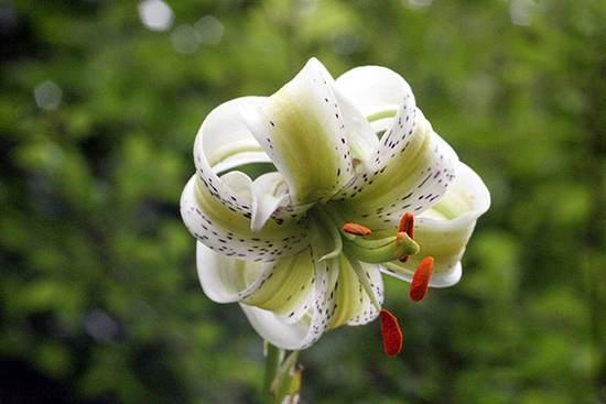 سوسن چلچراغ نادرترین گل جهان در ایران
