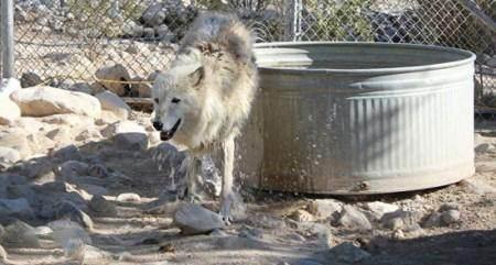 زندگی عاشقانه و باورنکردنی این زن با گرگ ها