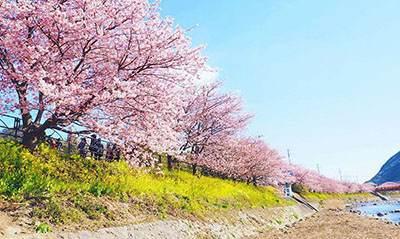 عکس های دیدنی جشن شکوفه های گیلاس در ژاپن
