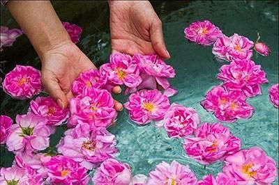 خواص درمانی مفید گلاب خوشبوی پرخاصیت