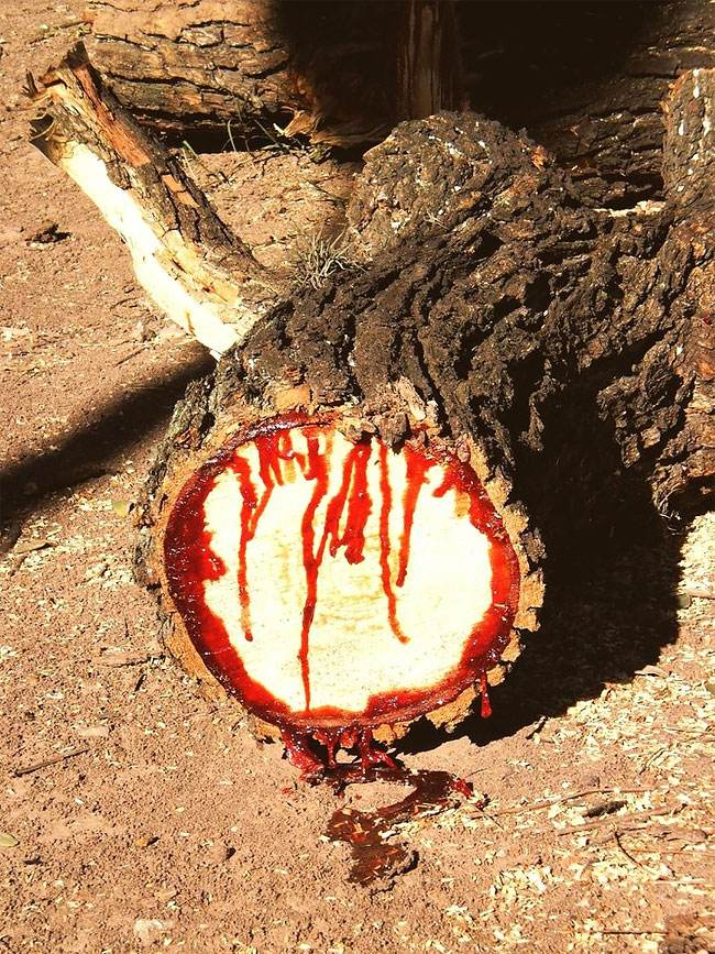 این درخت عجیب خون گریه می کند +عکس
