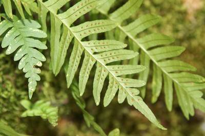 شرح کامل فواید دارویی گیاه بسفایج