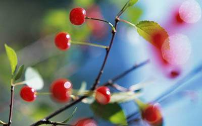 آلبالو میوه مفید ضد التهاب و ضد سرطان