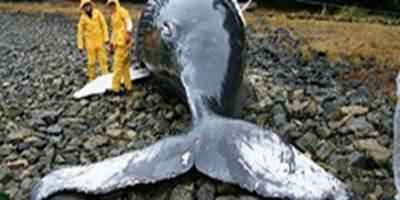 دلیل خودکشی نهنگ ها مشخص شد