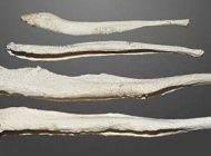 بررسی دلیل استخوان نداشتن آلت تناسلی مردان