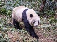 دلیل سیاه و سفید بودن خرس های پاندا چیست؟