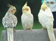 بهترین راهنمای خرید پرنده های خانگی