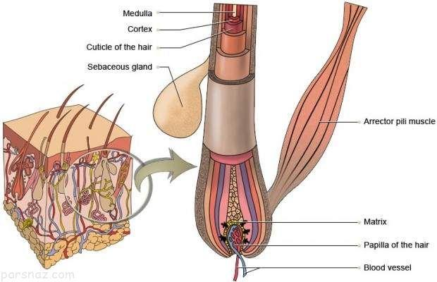 عوامل مهم موثر در سفیدی زودرس موها