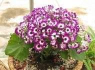 آموزش کاشت و پرورش گل سینره در منزل