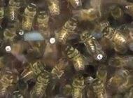 استفاده از سم زنبور برای رساندن دارو به مغز انسان
