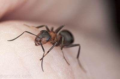 با دارچین می توانید مورچه ها را دور کنید