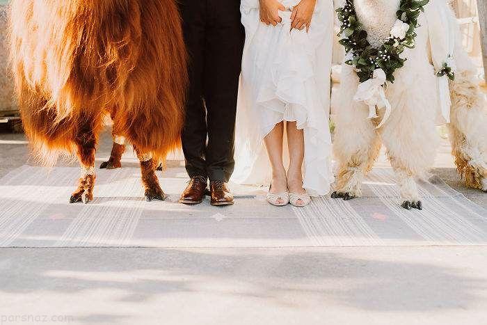 وقتی شترها ساقدوش عروس و داماد می شوند