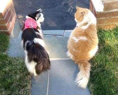 ماجرای جالب گربه ای که عاشق گربه همسایه شد