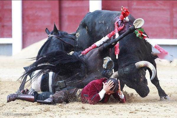 دختر گاوباز شجاع گوش گاو را از جا کند +عکس