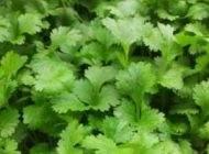 گشنیز سبزی معجزه آسا برای سلامت بدن
