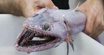 ترسناک ترین ماهی جهان با چهره ه ای عجیب