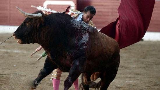 مرگ وحشتناک مرد گاو باز در میدان نبرد +عکس