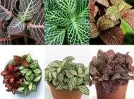 آموزش کامل نگهداری از گیاه فیتونیا در منزل