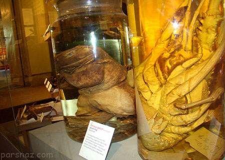 تصاویر حیرت انگیز از بزرگ ترین قورباغه جهان