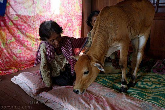 زنی که فکر می کند گوساله همسرش است +عکس