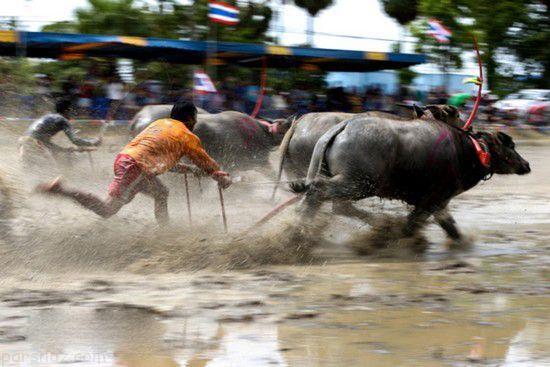 فستیوال جذاب بوفالوسواری در تایلند +عکس