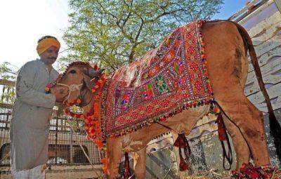مرد هندی که از مدفوع و ادرار گاو تغذیه می کند
